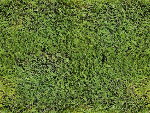 Fundo. terra. textura de grama ou arbusto de zimbro de cerca viva verde Foto Premium