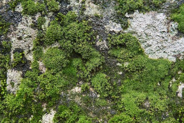 Fundo, textura - a superfície da rocha molhada está coberta de musgo e algas