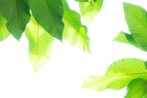 Fundo verde com folhas da natureza.