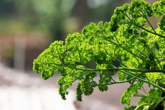 Fundo verde da folha da salsa. Salsa ou salsa de jardim é uma espécie de floração