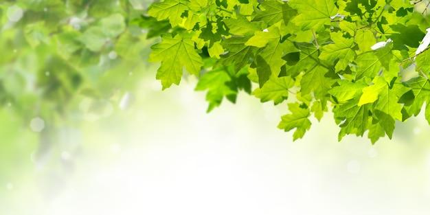 Fundo verde da natureza com folhas de plátano