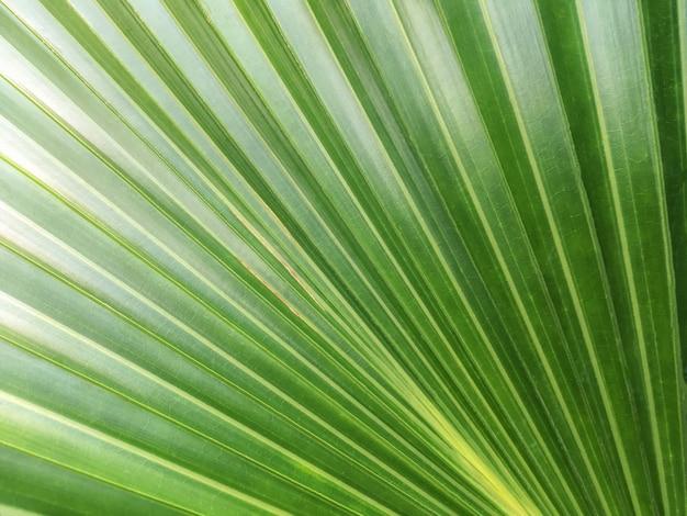 Fundo verde da natureza, folha grande da textura de uma palma tropical