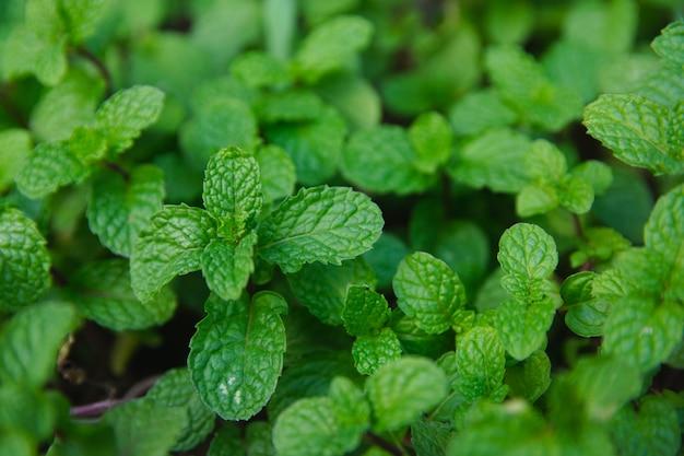 Fundo verde das folhas da pastilha de hortelã.