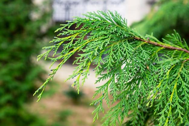 Fundo verde de chamaecyparis lawsoniana, close-up dos ramos de cipreste, início da primavera