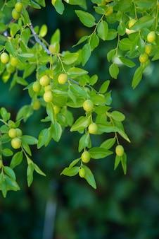 Fundo verde de ramos de jujuba