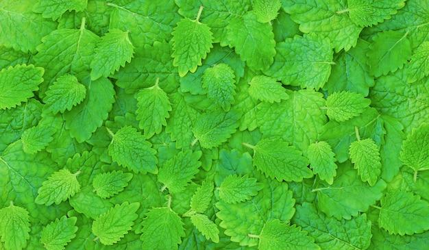 Fundo verde de verão com folhas verdes de hortelã