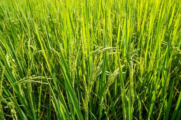 Fundo verde do campo de arroz.