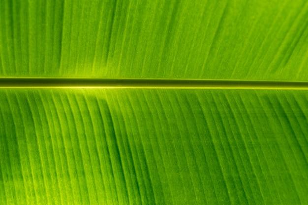 Fundo verde folha de bananeira