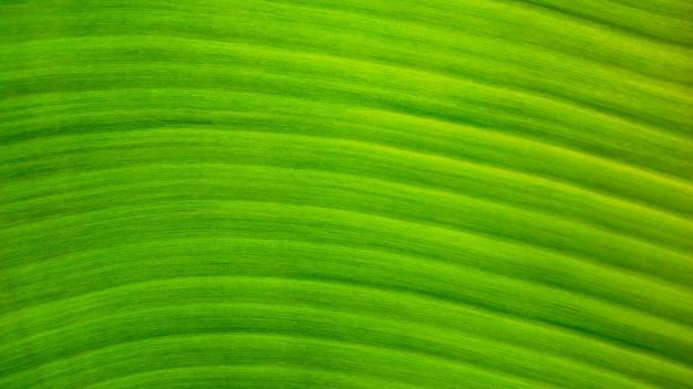 Fundo verde fresco da textura da folha da banana