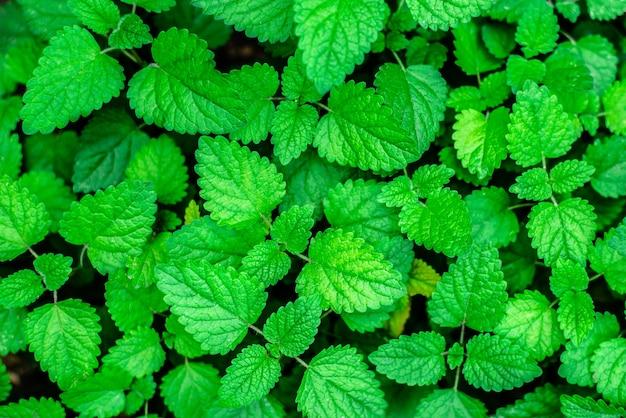 Fundo verde hortelã