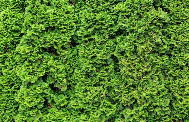 Fundo verde thuja occidentalis, textura natural