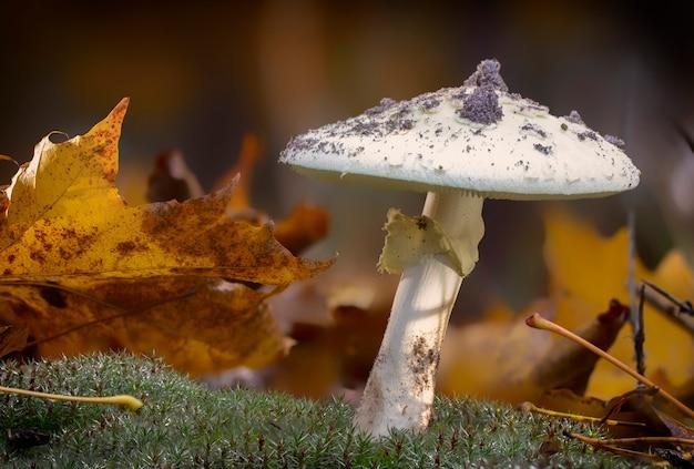 Fungo de amanita phalloides, sujeito venenoso na montanha selvagem close-up em um dia chuvoso