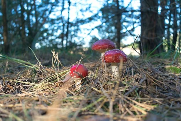 Fungo venenoso do muscaria do amanita em um ambiente natural na floresta do outono.