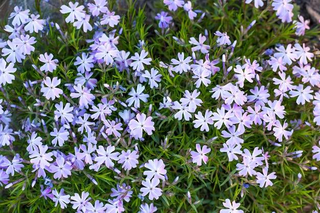 Furador phlox de florescência