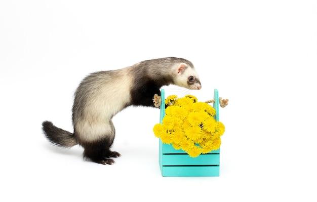 Furão com flor na superfície branca isolada