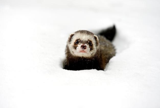 Furão da floresta na floresta no inverno