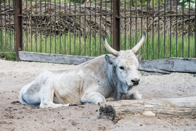 Gado cinza húngaro relaxando ao ar livre no zoológico