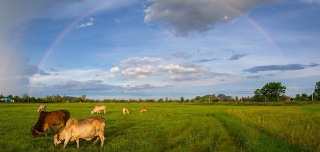 Gado comendo grama e arco-íris de fundo