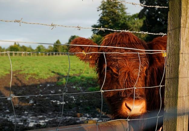 Gado das montanhas em uma fazenda em highlands, escócia