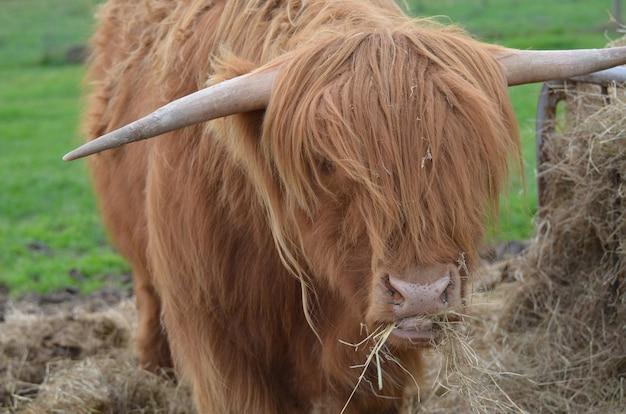 Gado das terras altas mastigando um punhado de feno nas terras altas da escócia.