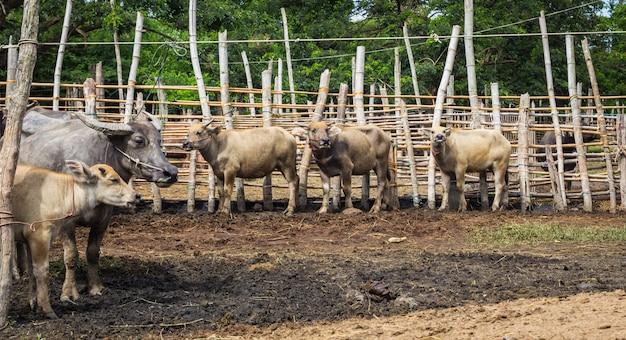 Gado e búfalos são comercializados. no mercado de rong wua, chiang mai, tailândia