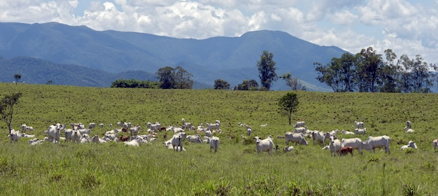Gado nelore em pastagem verde com colina