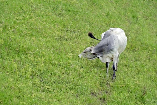 Gado no pasto na zona rural de campos verdes