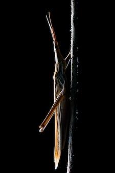 Gafanhoto de cabeça cônica (acrida ungarica) durante a noite