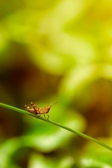 Gafanhoto (inseto) sentado em uma folha de grama em um verde brilhante