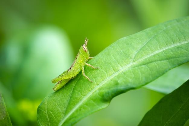 Gafanhoto na folha verde