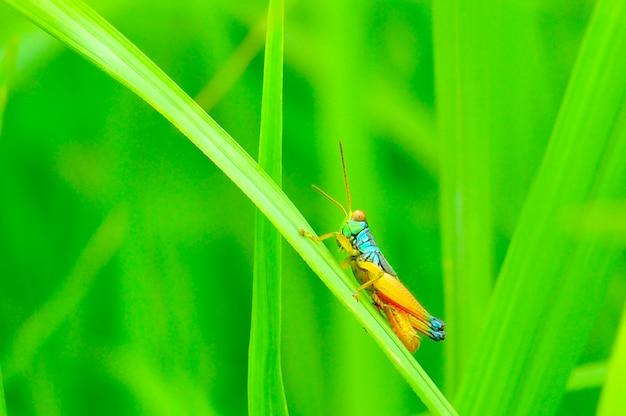 Gafanhoto na grama verde