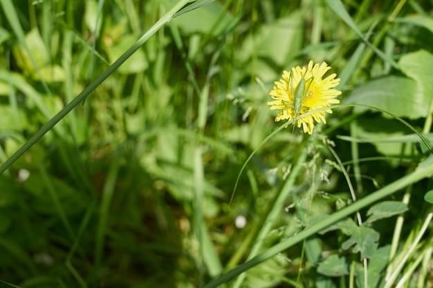Gafanhoto verde em dente de leão amarelo na grama verde.
