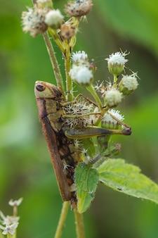 Gafanhotos nas folhas assimilar com a natureza
