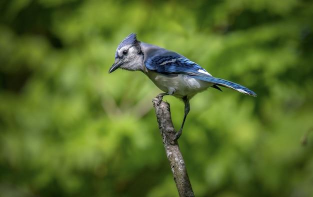 Gaio-azul (cyanocitta cristata