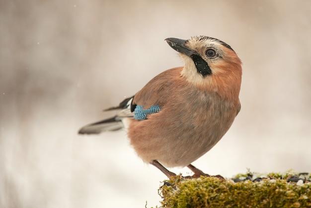 Gaio da eurásia (garrulus glandarius) no alimentador de pássaros de inverno