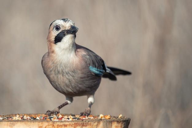 Gaio da eurásia, garrulus glandarius, no alimentador de pássaros de inverno