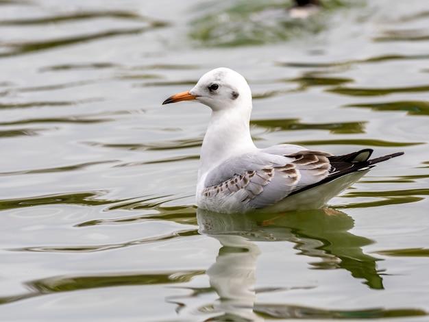 Gaivota-branca bonita arenque europeu no meio do lago