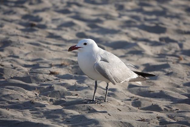 Gaivota branca e cinza caminhando na areia durante o dia