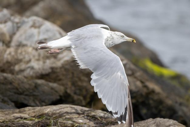 Gaivota branca voando de uma rocha perto do oceano