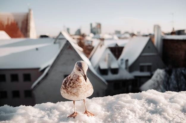 Gaivota com tallinn de inverno ao fundo, estônia
