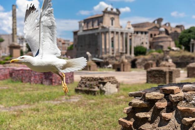 Gaivota do mediterrâneo sentada nas pedras do fórum romano em roma, itália