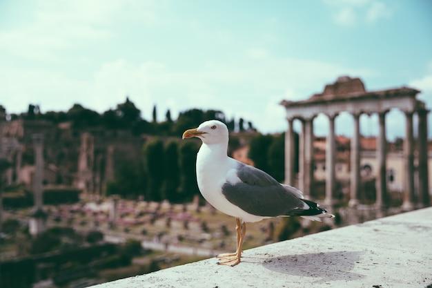 Gaivota do mediterrâneo sentado nas pedras do fórum romano em roma, itália. fundo de verão com dia ensolarado e céu azul
