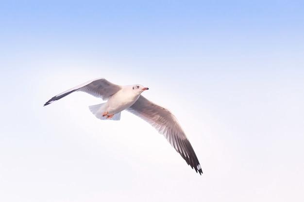 Gaivota está voando no céu azul. é uma ave marinha, geralmente cinza e branca. leva comida viva (caranguejos e peixes pequenos).