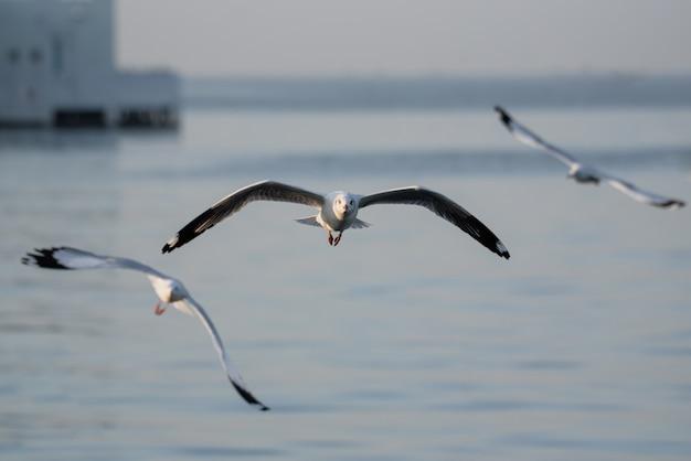 Gaivota, grito de guerra emitido na luta gaivota de dumfries