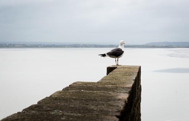 Gaivota na beira de um muro de pedra, olhando para o horizonte, junto ao mar no monte st. miche