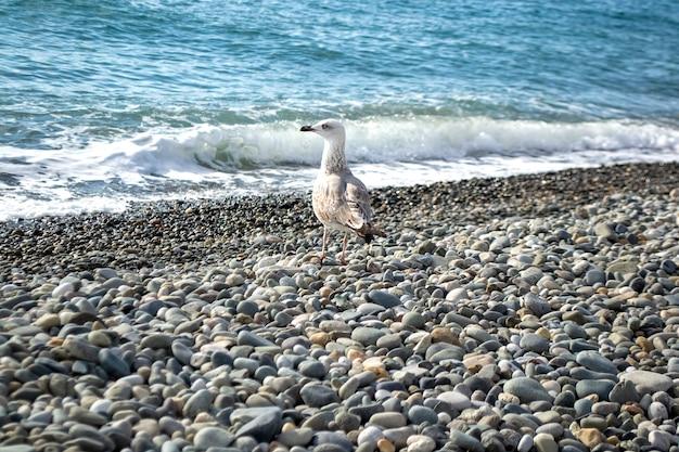 Gaivota na costa do mar em pé sobre seixos