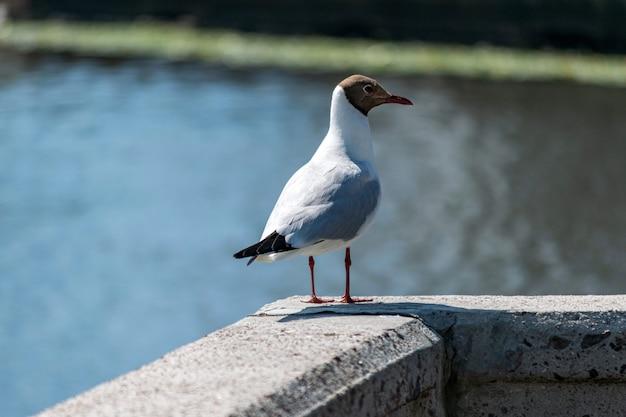 Gaivota no cais de concreto. gaivota de mar que espera alimentando turistas. rio da cidade turva