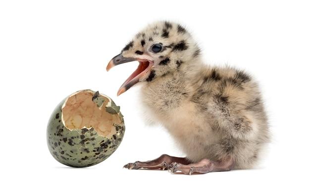 Gaivota ou gaivota com ovo chocado, 2 dias, isolado no branco