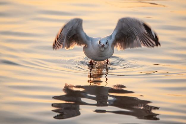 Gaivota que descola da água para voar com reflexão.