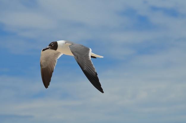 Gaivota rindo preto e branco em vôo no céu.